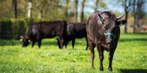 Marblelution: Rindfleisch-Revolution